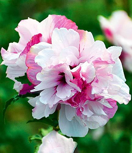 BALDUR-Garten Freiland-Hibiskus French Cabaret Pastel, 1 Pflanze Hibiscus gefüllte Blüten winterhart