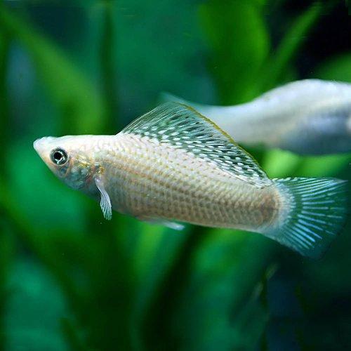 (熱帯魚)シルバーセルフィンモーリー (約6cm)<1ペア>[生体]