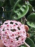 1 PIANTA Hoya Krinkle Fiore di Cera Vaso 12CM Rara Profumo di Cioccolato