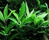WFW wasserflora Schmalblättriger Wasserfreund/Hygrophila corymbosa...