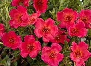 Risalana Purslane Rock Ruby Tuesday Flower Seeds/HERB/Heat, Drought Tolerant Perennial