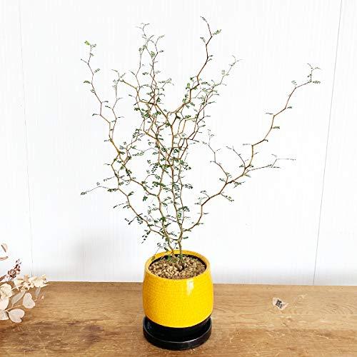 ソフォラ リトルベイビー サンライトイエローの陶器鉢植え 卓上サイズ 観葉植物 卓上 ミニ ミニサイズ 黄色