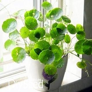 Pilea nuevas semillas Las semillas frescas, plantas en macetas de bricolaje y de interior/exterior de semillas pote - 10 p...
