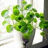 Pilea nuevas semillas Las semillas frescas, plantas en macetas de bricolaje y de interior/exterior de semillas pote - 10 piezas/paquete, 1MIYH8
