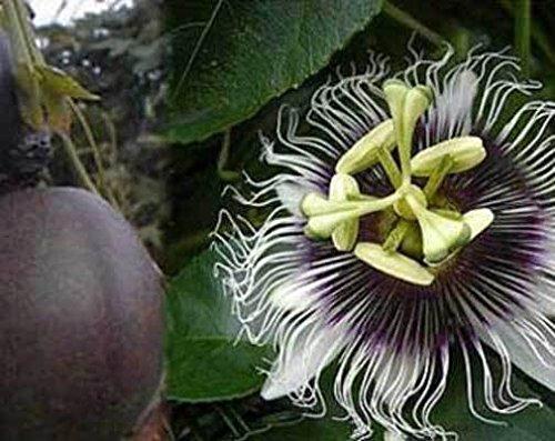 Passiflora edulis Toms spéciale   20_Seeds POUR NOUS