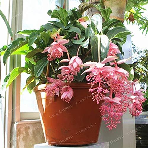 Medinilla Magnifica Samen Sehr Schöne Bonsai Blumensamen Pflanze Für Hausgarten Dekoration Blumensamen 100 Stücke