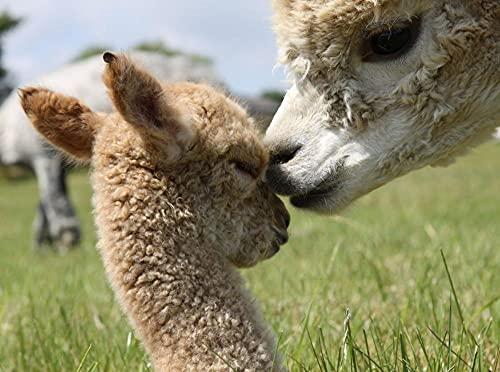 DIY 5D Diamante Pintura, Animales de alpaca Diamond Painting Kit Pared Decoración Diamond Painting para Regalos de Cumpleanos