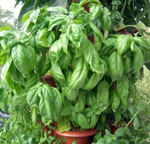 120 + BASILIC ITALIENNE LEAF LARGE semences non OGM Pesto bio Jardin/Patio Container