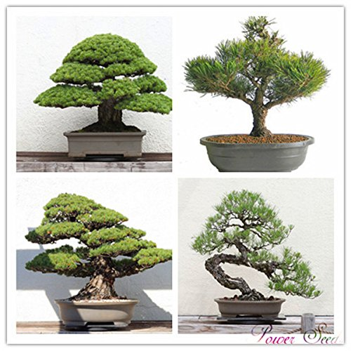 Un pack de 30 pièces bleu Spruce Graines Bonsai Picea arbre en pot Cour Jardin des plantes Bonsai Graines Pine Tree
