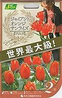 【花球根】 チューリップ ジャイアント オレンジ サンライズ 2球 世界最大級の花姿のチューリップ!!