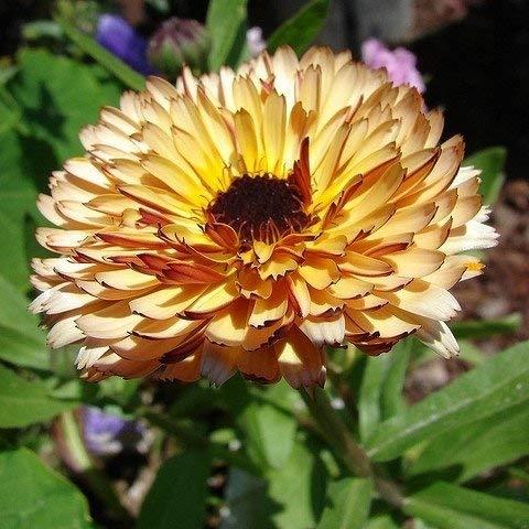 Ringelblume Aprikose Beauty samen - Calendula officinalis - 240 samen