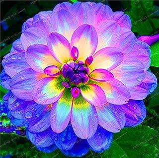Decor Flower - 2 Bulb True Purple Dahlia Bulbs Flower,Bonsai Flower Bulb,symbolizes and Lucky,Home Plant-Dahlia Bonsai)