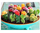 Semi del cactus, pianta da vaso dei semi di fiore dei bonsai del fico d'india per l'ufficio del giardino domestico