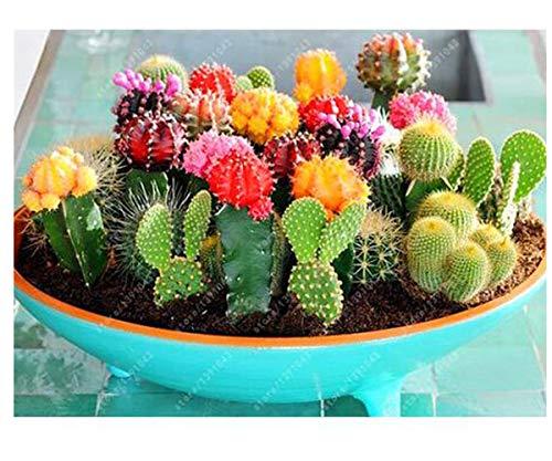 Semillas de cactus, planta de tiesto de las semillas de flor del bonsai del higo chumbo para la oficina del jardín hogareño