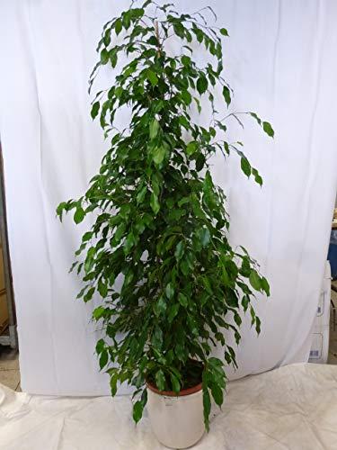 [Palmenlager] XXL Ficus benjamini