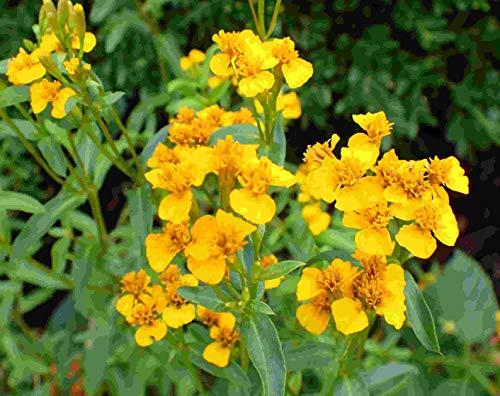 Asklepios-seeds® - Tagetes lucida, 300 Samen Aztekische Würztagetes, Winter Estragon Traumkraut