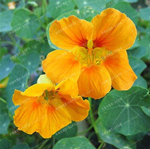 10 pièces Belle capucine Graine Creeper Tropaeolum Majus facile plantation Hanging graines de fleurs ornementales Bonsai New Garden plantes