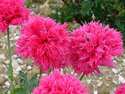 graines pavot a pain Pavot a opiumdrapeau danois