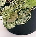 Zoom IMG-1 ceropegia woodii foglia grigia collana