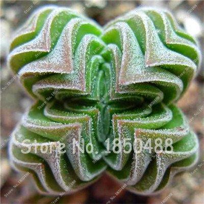 Best-seller 200pcs Succulentes japonais Graines rares Mini Indoor Fleur de cactus Graines charnu graines de fleurs de plantes pour Polygon