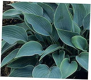 NAW 1 Quart Pot Landscape Halcyon Hosta Deep Green Blue Gorgeous Established Plant - RK29