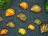 Aquatic Arts Nerite Snail Combo Pack: 3 Zebra, 3 Tiger, 3 Assorted Horned Snails | Freshwater Aquarium Scraper/Nano Fish Tank Clearer
