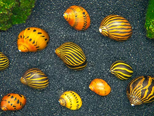 Types of Nerite Snails
