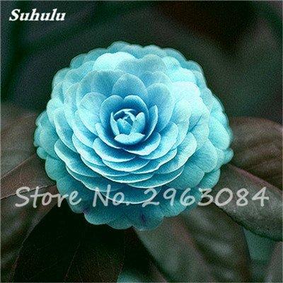 5 pièces rares Graines arc-en-Camellia fleurs, plantes en pot de bricolage, Lumière Parfumée intérieur Fleur, intérieur Bonsai planter des fleurs Semences 12