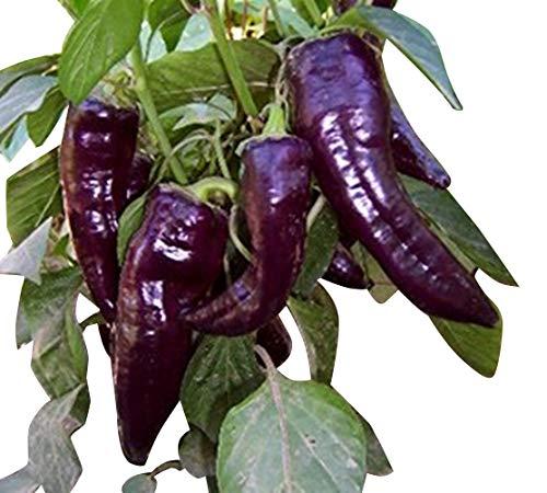 Marconi Purple/Violett 10 Samen ***Großer/Süßer Spitzpaprika aus Italien***