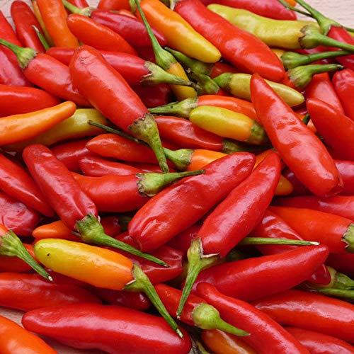 Portal Cool Pfeffer Chilli - Tabasco - 50 Samen