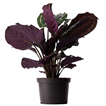"AMERICAN PLANT EXCHANGE Calathea Medallion Peacock Live Plant, 6"" Pot, Indoor/Outdoor Air Purifier"