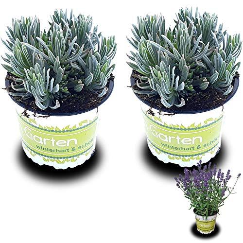2 Lavendelpflanzen (Lavandula...
