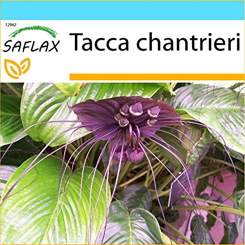 SAFLAX - Geschenk Set - Fledermausblume - 10 Samen - Mit Geschenk- / Versandbox, Versandaufkleber, Geschenkkarte und Anzuchtsubstrat - Tacca chantrieri