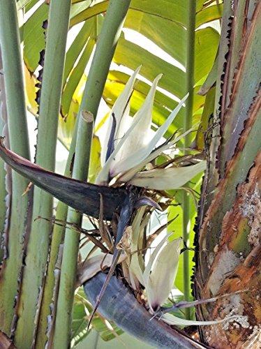 10 graines de Strelitzia Nicolai Oiseau du Paradis Blanc