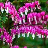 Aimado Seeds Garden-10 Coeur de Marie graines Vivace, grappes pendantes de fleurs en forme de cœur, fleurs graines pour Jardin, Terrasse et Balcon