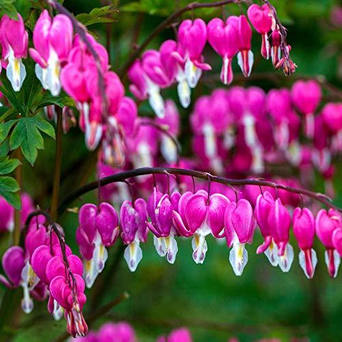 AIMADO Samen-Rarität 10 Stück Dicentra Spectabilis Samen Tränendes Herz Stauden rosaroten Blüten, Blütezeit beginnt Ende April,Sommer Blumen Blumensamen