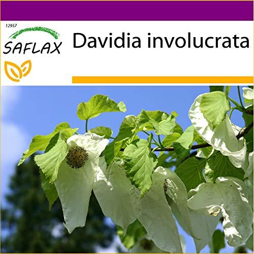 SAFLAX - Big Garden - Taschentuchbaum - 1 Samen - Mit Gewächshaus, Töpfen, Anzuchtsubstrat und Dünger - Davidia involucrata