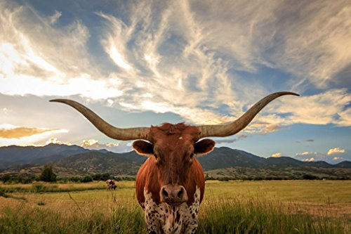 Texas Longhorn Bull Standing in Pasture Close Up Photo Art Print Cool Huge Large Giant Poster Art 54x36