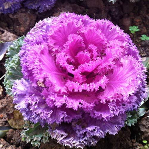 Keptei Samenhaus- Selten Zierkohl Blumensamen (Brassica oleracea) Mehrfabrig Grünkohl-Samen Mischung von Dürr-Samen Topfpflanzen fuer Garten und Balkon