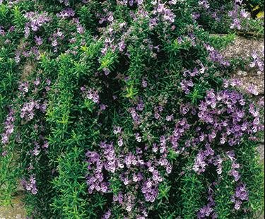"""Clovers Garden Trailing Rosemary Herb Plant ? Non-GMO - Two (2) Live Plants - Not Seeds - Each 3""""-7"""" Tall - in 3.5 Inch Pots ? Prostrate Creeping Rosemary"""