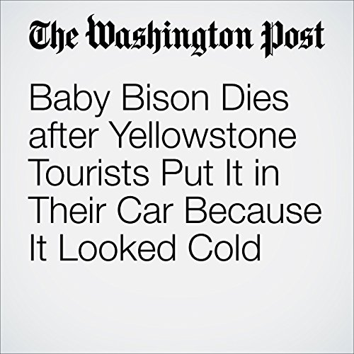 Baby Bison Dies after Yellowstone Tourists Put It in Their Car Because It Looked Cold audiobook cover art