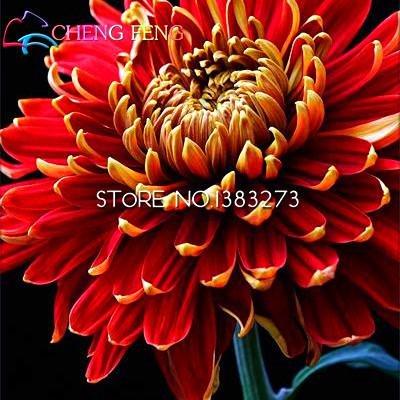 Vente Big 100 pièces / lot chrysanthème Graines Rare Seed Flower Garden pot Plantes Softcover Bonsai Balcon Chambre Fleurs Montre *