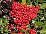 Pyracantha coccinea Espino de fuego Semillas Bonsai árbol de la flor blanca bayas rojas (10)