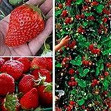 Dovlen 100Pcs / Beutel Rot Kletternde Erdbeer Saat Frucht- Samen Heim Garten Bonsai Pflanze