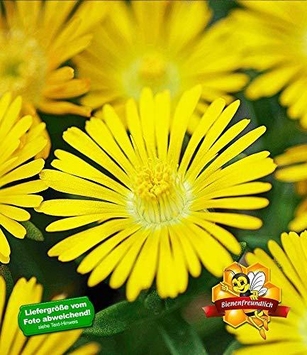 BALDUR Garten Winterharte Eisblume Golden Wonder, 3 Pflanzen, Delosperma congesta Steingarten Stauden
