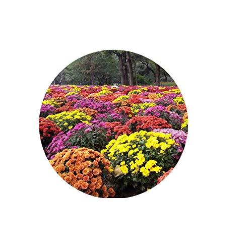 XINDUO Rare graines de Multicolor,Couvre-Sol de Couleur mélangée Fleurs de chrysanthème-500g,semences vivaces