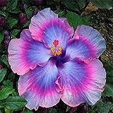 Bornbayb 20 Pièces Hibiscus Graines Vivaces Fleur Graine Facile à Grandir Bricolage Jardin en Pot ou Yard Fleur Plante Multi Couleur