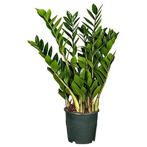 Florado Glücksfeder, Zamioculcas, echte Zimmerpflanze, Pflanze, Topfgröße 17cm