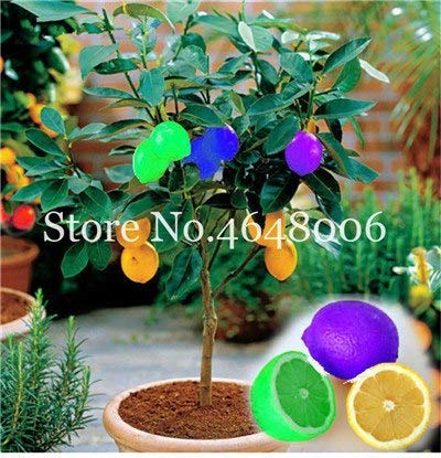 Bloom Green Co. 50 Pcs comestibles de fruits Meyer Citron Bonsai plantes exotiques colorés Citrus Limon fruits frais Arbre Plantes potagères taux élevé de survie: c