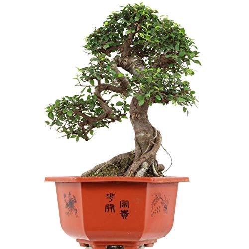 Chinesische Ulme, Bonsai, 15 Jahre, 48cm